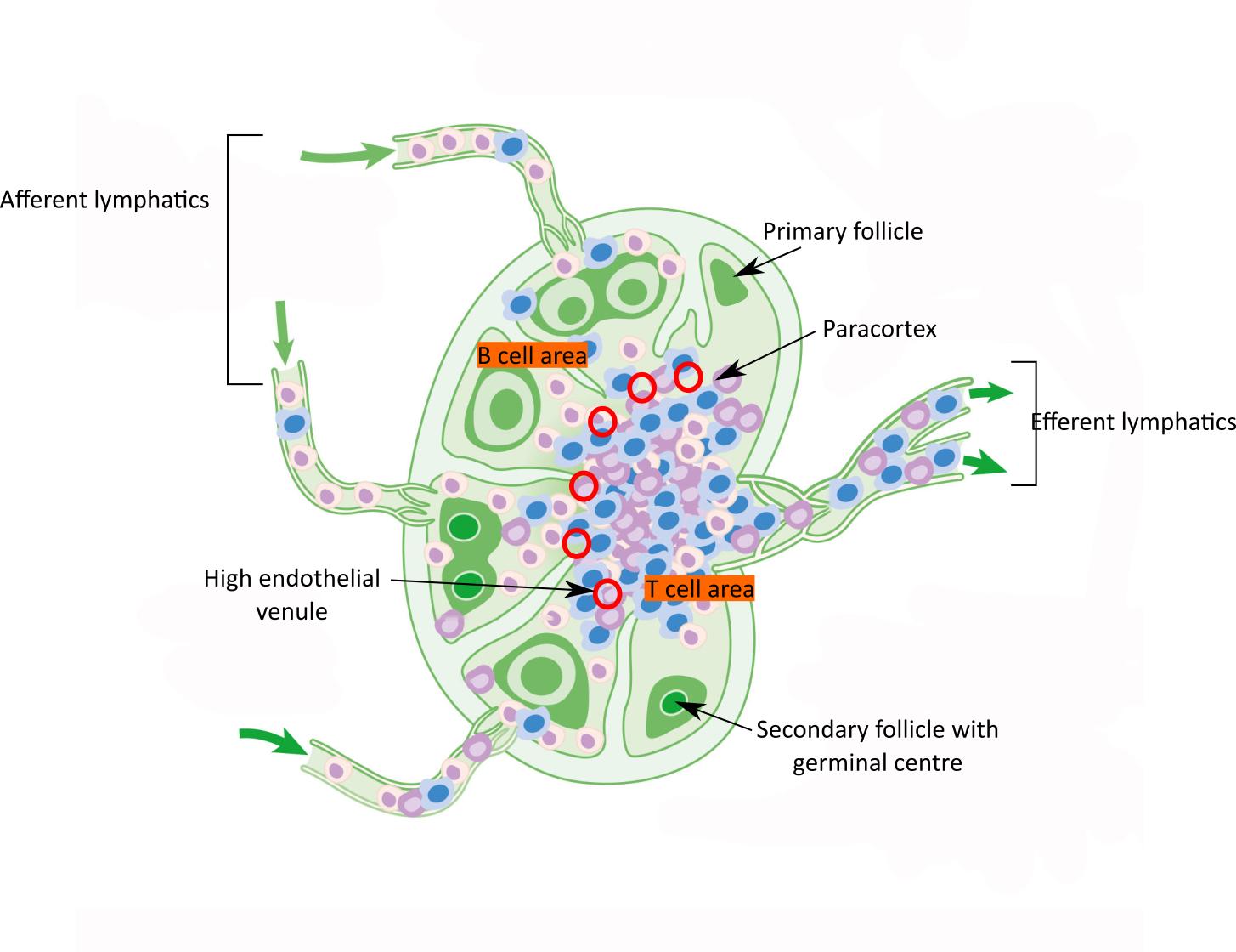 Anatomy Of The Immune System  U2013 Pathologia